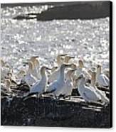 A Flock Of Gannets Standing On A Rock Canvas Print by John Short