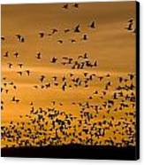 A Flock Of Snow Geese Chen Caerulescens Canvas Print by Ralph Lee Hopkins