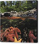 A Group Of Ochre Sea Stars Clustered Canvas Print by Bill Curtsinger