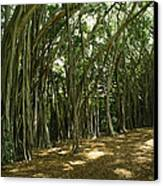 A Grove Of Banyan Trees Send Airborn Canvas Print by Paul Damien