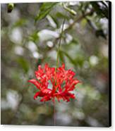 A Hibiscus Schizopetalus Flowers Canvas Print by Taylor S. Kennedy