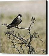 A Juvenile Hobby Perches On A Branch Canvas Print by Klaus Nigge