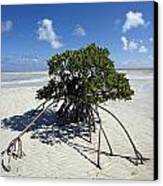 A Lone Mangrove Tree On A Sand Spit Canvas Print by Scott S. Warren