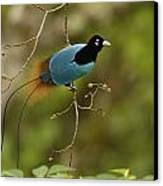 A Male Blue Bird Of Paradise Perched Canvas Print by Tim Laman