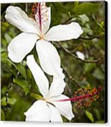 A Native Hawaiian Hibiscus Arnottianus Canvas Print by Taylor S. Kennedy