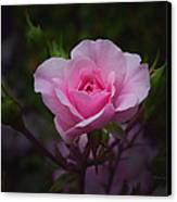 A Pink Rose Canvas Print by Xueling Zou