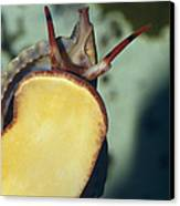A Red Lip Triton Snail Charonia Canvas Print by Jason Edwards