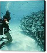 A School Of Grunts Swims By A Diver Canvas Print by Nick Caloyianis