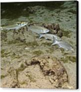 A Small School Of Grey Mullet Swim Canvas Print by Terry Moore