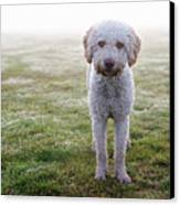 A Spanish Water Dog Standing A Field Canvas Print by Julia Christe