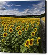A Sunny Sunflower Day Canvas Print by Debra and Dave Vanderlaan