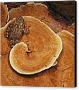 A Toad Sits On A Wooly Velvet Polypore Canvas Print by Darlyne A. Murawski