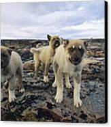 A Trio Of Growling Husky Puppies Canvas Print by Paul Nicklen