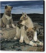 A Trio Of Playful Husky Puppies Canvas Print by Paul Nicklen