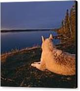 A White Husky Gazes At The Water Canvas Print by Paul Nicklen