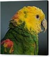 A Yellow-headed Amazon Parrots Amazona Canvas Print by Joel Sartore