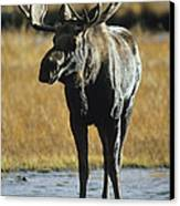 A Young Bull Moose Canvas Print by George F. Herben