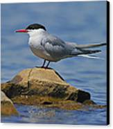 Adult Common Tern Canvas Print by Tony Beck