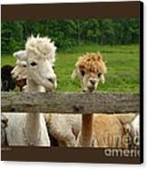 Alpacas-i Canvas Print by Patricia Overmoyer