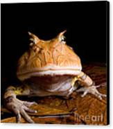 Amazonian Horned Frog Canvas Print by Dant� Fenolio