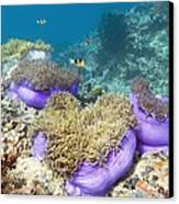 Anemones With Anemonefish Canvas Print by Georgette Douwma