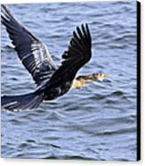 Anhinga In Flight Canvas Print by Roger Wedegis
