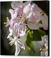 Apple Blossom Canvas Print by Ralf Kaiser
