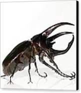 Atlas Beetle Canvas Print by Chris Hellier