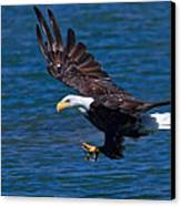 Bald Eagle On The Hunt Canvas Print by Beth Sargent