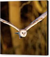 Barn Owl In Flight Canvas Print by MarkBridger