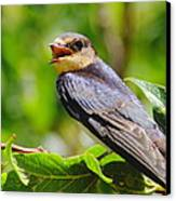 Barn Swallow In Sunlight Canvas Print by Robert Frederick