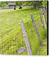 Belted Galloway Cows Farm Rockport Maine Canvas Print by Keith Webber Jr
