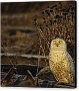 Birds Of Bc - No.12 - Snowy Owl - Bubo Scandiacus Canvas Print by Paul W Sharpe Aka Wizard of Wonders