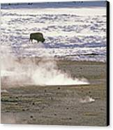 Bison Grazing Near Hot Springs Canvas Print by Gordon Wiltsie