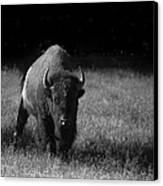 Bison Canvas Print by Ralf Kaiser