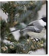Black-capped Chickadee, Poecile Canvas Print by John Cancalosi