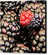 Blackberries  Canvas Print by JC Findley