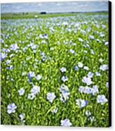 Blooming Flax Field Canvas Print by Elena Elisseeva