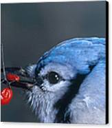Blue Jay Canvas Print by Photo Researchers, Inc.