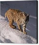 Bobcat Felis Rufus Prowls Over The Snow Canvas Print by Dr. Maurice G. Hornocker