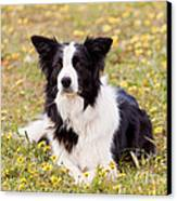 Border Collie In Field Of Yellow Flowers Canvas Print by Michelle Wrighton