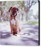 Boxer Puppy Canvas Print by Diyosa Carter