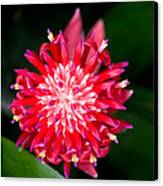 Bromeliad Bloom Canvas Print by Rich Franco