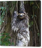Brown Throated Three Toed Sloth Mother Canvas Print by Suzi Eszterhas