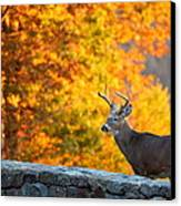Buck In The Fall 06 Canvas Print by Metro DC Photography