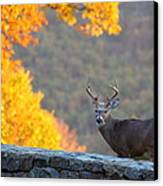 Buck In The Fall 08 Canvas Print by Metro DC Photography