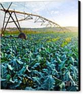 Cabbage Growth Canvas Print by Carlos Caetano
