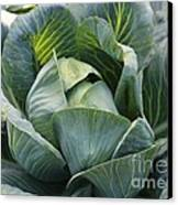 Cabbage In The Vegetable Garden Canvas Print by Carol Groenen