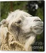 Camel Portrait Canvas Print by Odon Czintos