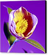 Camellia Flower (camellia Sp.) Canvas Print by Johnny Greig